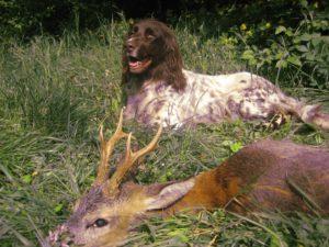 Jagdschein machen, hier erfolgreiche Jagd im Lehrrevier der Jagdschule AJN Saarland: Deutsch-Langhaar-Hündin mit Rehbock