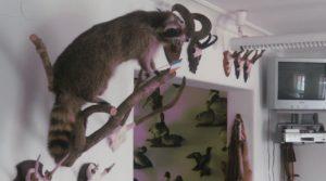 Jagdschein machen - Präparate in den Unterrichtsräumen der Jagdschule AJN: Waschbär und viele andere Präparate